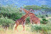 Giraffes necking during a Tanzania safari through the Selous Game Reserve.