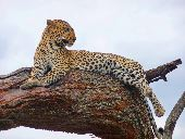 A leopard lounges on a tree branch in Serengeti National Park.