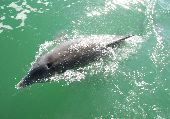 A dolphin swims in the clear waters of the Gulf of Mexico.