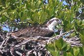 The Osprey watches for prey from a Mangrove in the Everglades