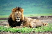 Male lion laying on ground in Ngorongoro Crater in Tanzania
