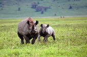 A mother and baby rhino gallop across the plains of central Tanzania.