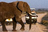 Two vehicles in Tanzania wait to drive as a large elephant crosses the road.