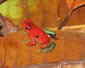 Small, red and green frog with dark eyes sits on a table.