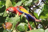 A colorful Scarlet Macaw in Costa Rica's Corcovado National Park.