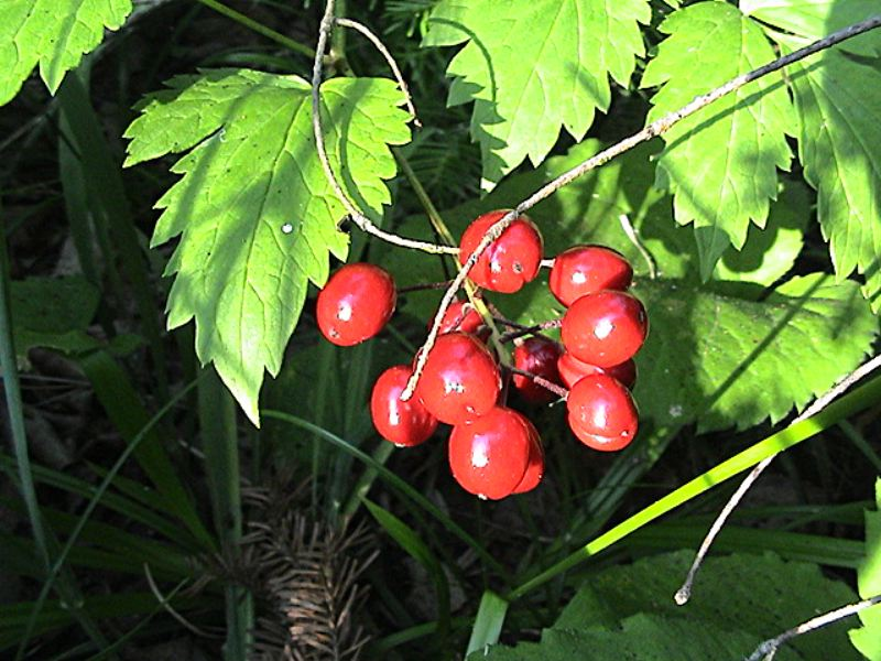 Wild berries near moskey basin photo by kuhn p