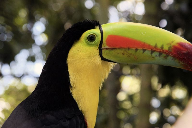 The Keel-billed Toucan is commonly found in the lowland rainforests.