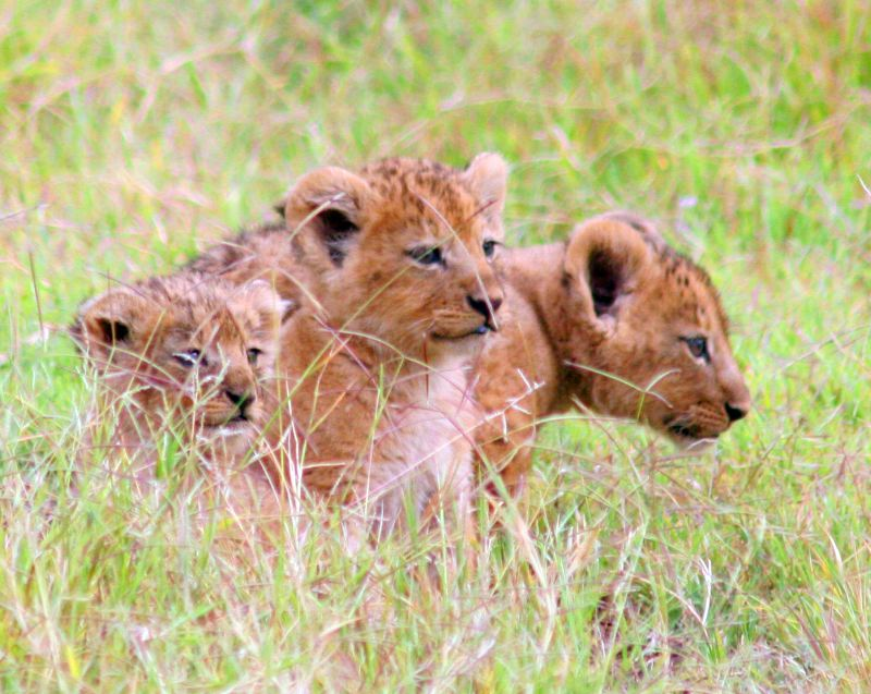Lion cubs in Mikumi National Park in southern Tanzania