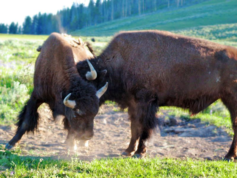 Bison, the largest land mammal in North America, abound in Yellowstone National Park, where over 3,000 roam annually.