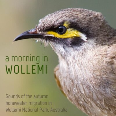 Yellow Faced Honeyeater (Lichenostomus chrysops), NSW, Australia