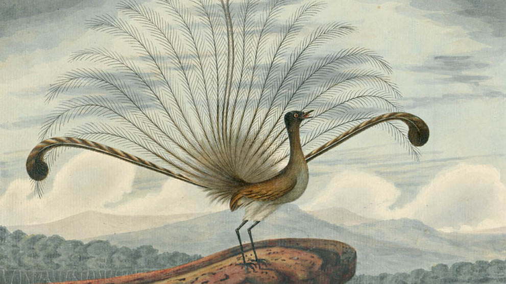 Superb Lyrebird (Menura novaehollandiae)