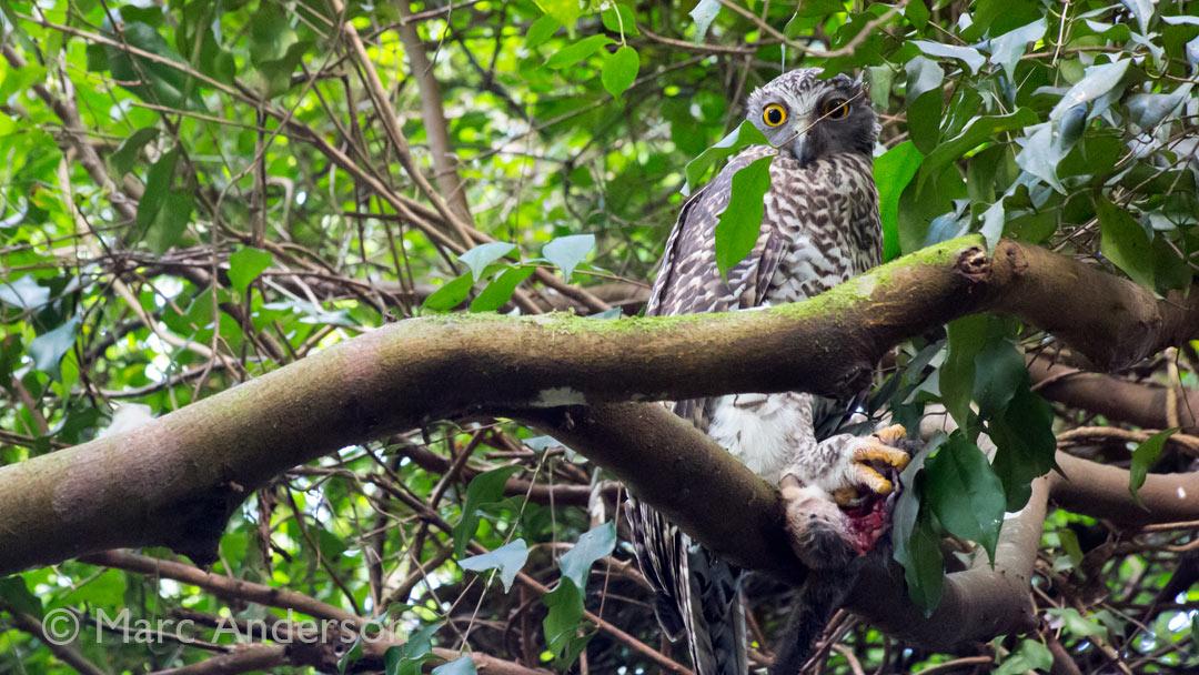 Video: Powerful Owl (Ninox Strenua)