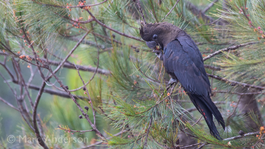 Glossy Black Cockatoos Feeding on Casuarina