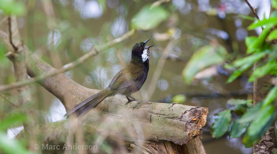 Eastern Whipbird Calls – Cracking Duets | Wildlife Sounds by