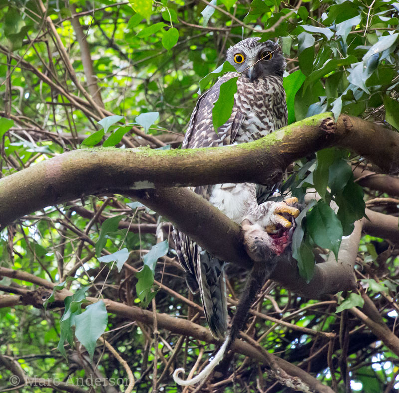 Powerful Owl with Common Ringtail Possum prey