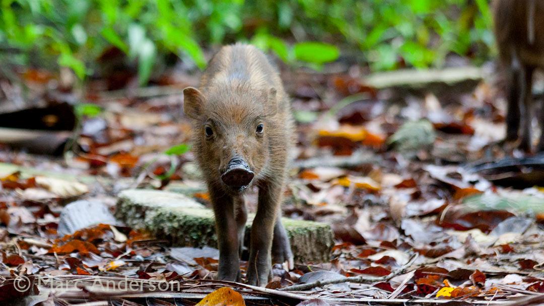 Pigging Out in Taman Negara, Malaysia