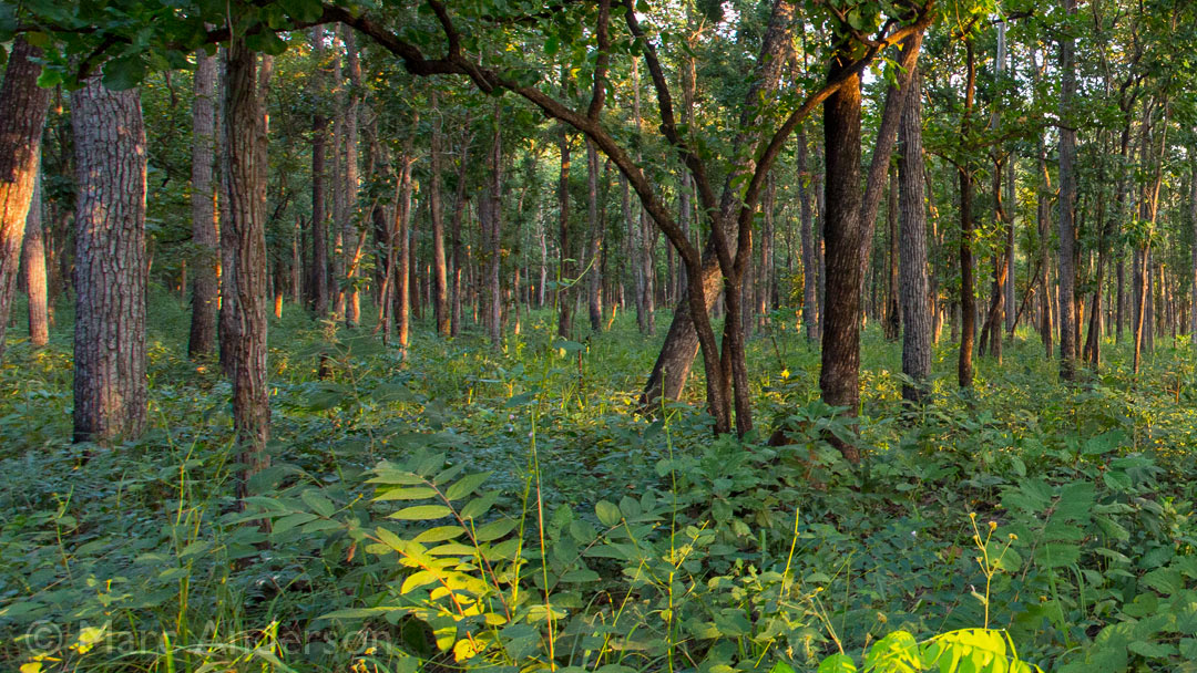 Birdsong of Thailand's Deciduous Forest – Huai Kha Khaeng Wildlife Sanctuary