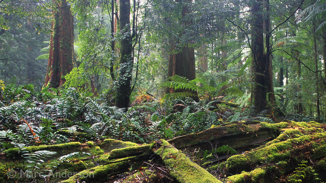 New Album – Tasmania's Ancient Rainforest