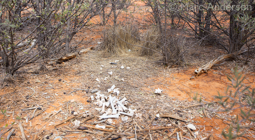 Bower of the Spotted Bowerbird