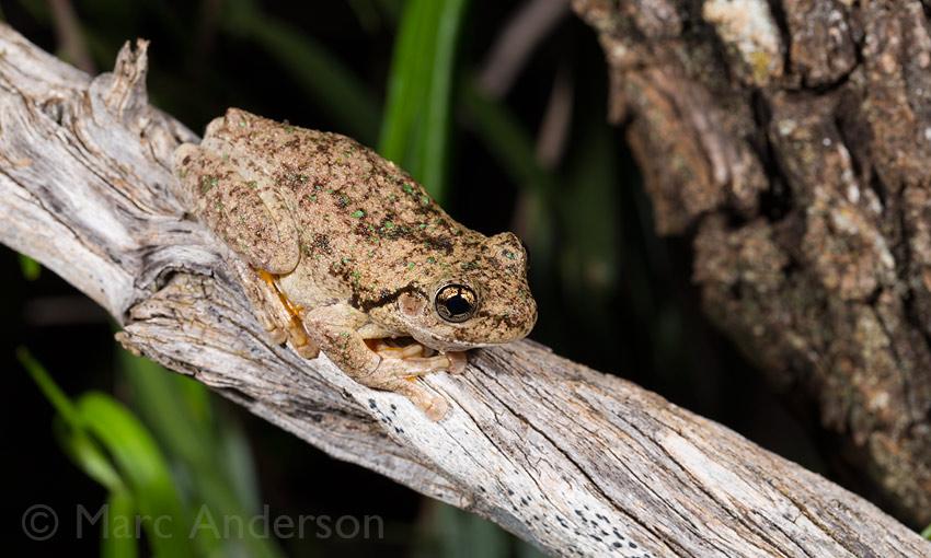 Peron's Treefrog (Litoria peronii)