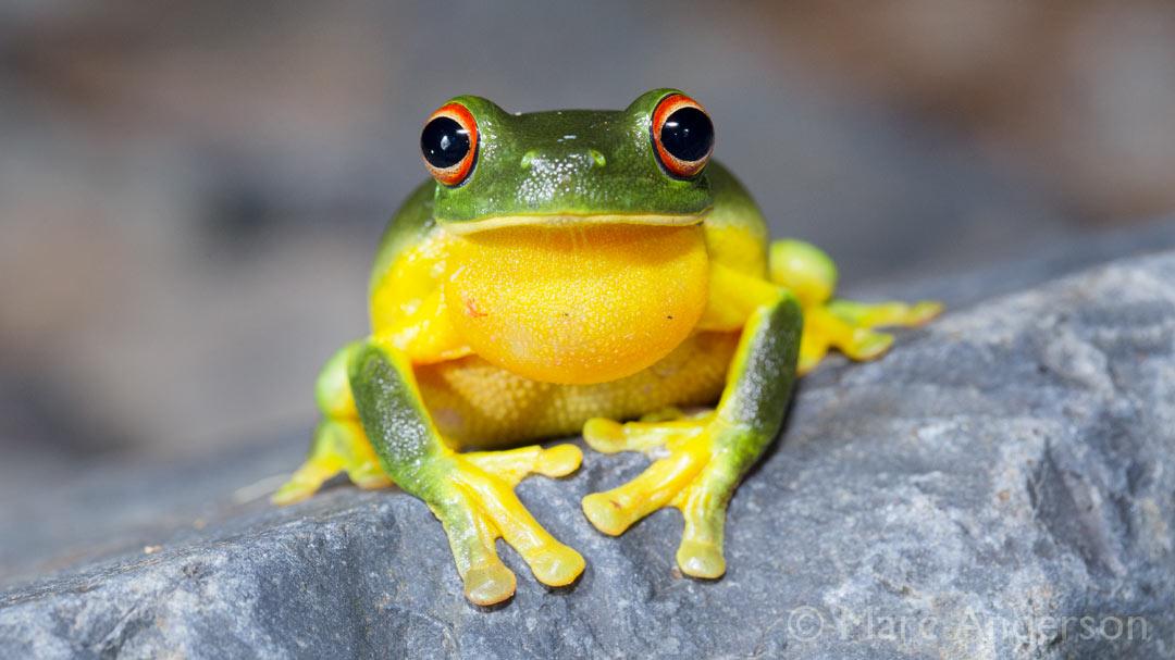 Frogs in the Chaelundi Wilderness, NSW, Australia