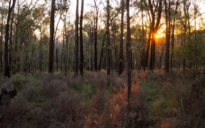 Pindaroi Forest Soundscape
