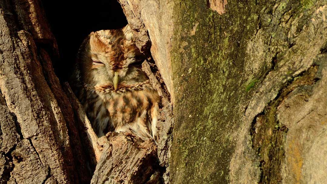 DVD Review – The Secret Life of the Tawny Owl