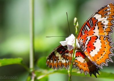 Orange Lacewing Butterfly, (Cethosia penthesile)