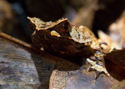 Javan Horned Frog (Megophrys montana)