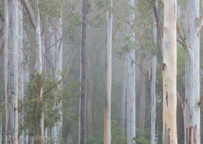 Eucalyptus trees in the early morning mist