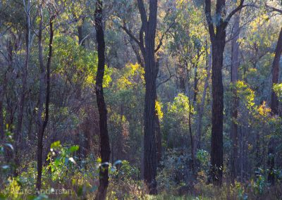 Box-ironbark woodland