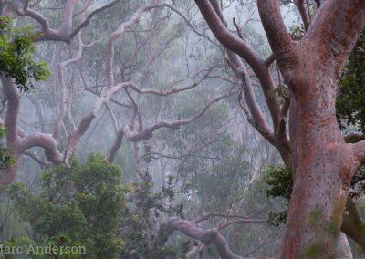 Angophora forest