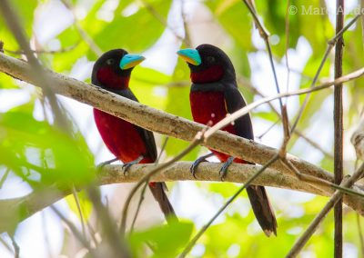 Black-and-Red Broadbills (Cymbirhynchus macrorhynchos)