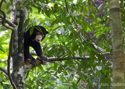 Bornean Sun Bear (Helarctos malayanus)