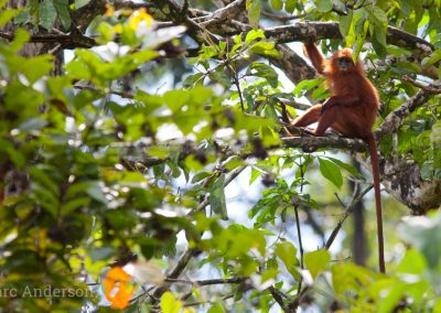 Red Leaf Monkey (Presbytis rubicunda)