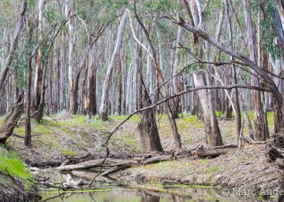 River Red Gum forest