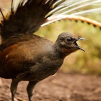 superb lyrebird the greatest mimic wild ambience nature sounds