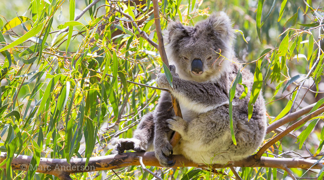 Koala (Phascolarctos cinereus) in the wild, Australia