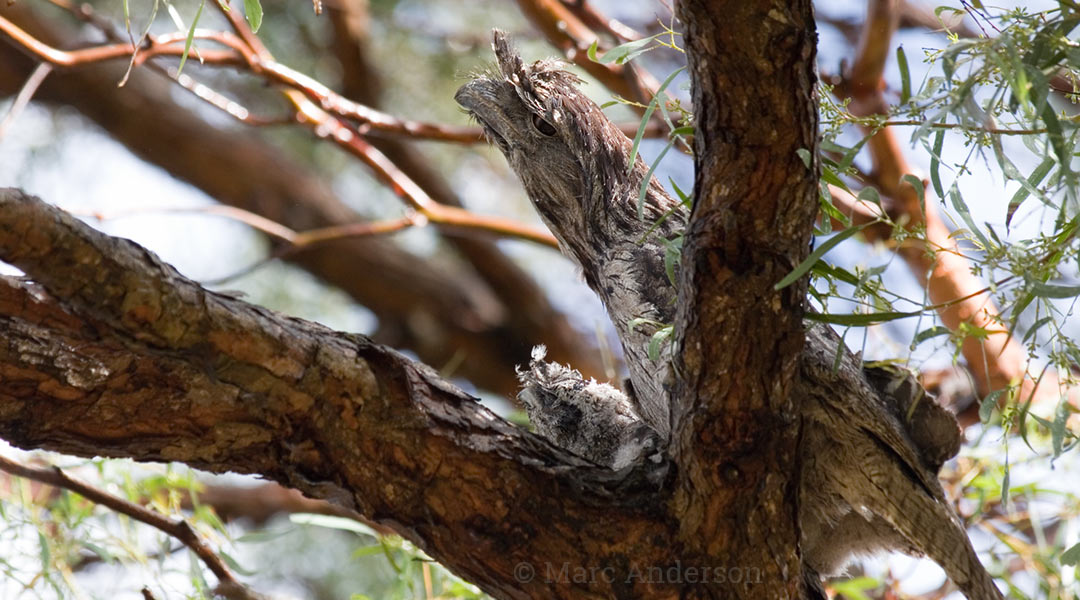 Tawny Frogmouth (Podargus strigoides) on nest with chick