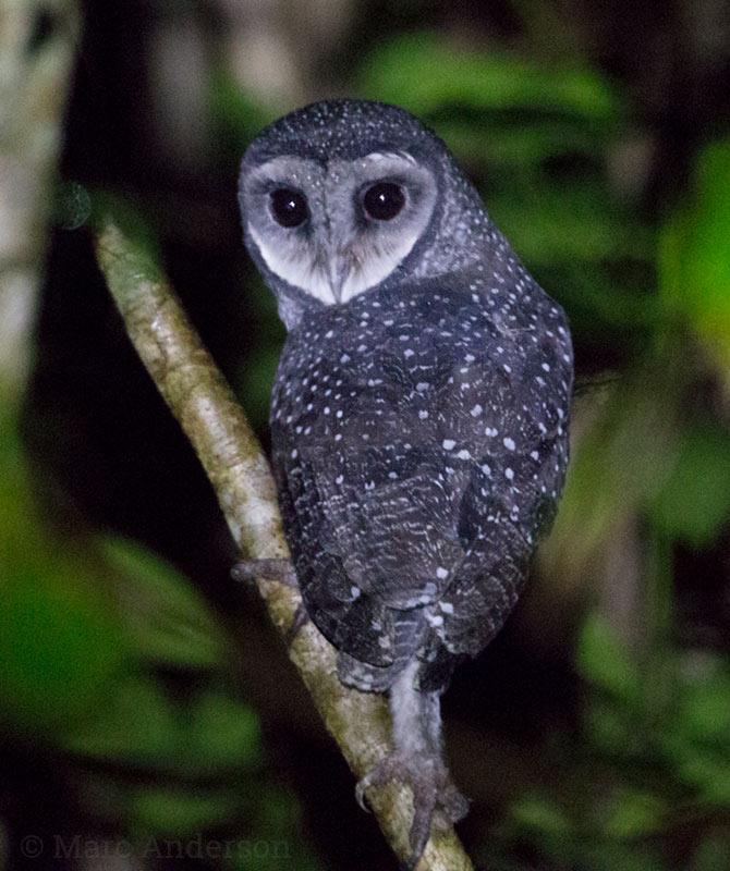 Lesser Sooty Owl (Tyto multipunctata)