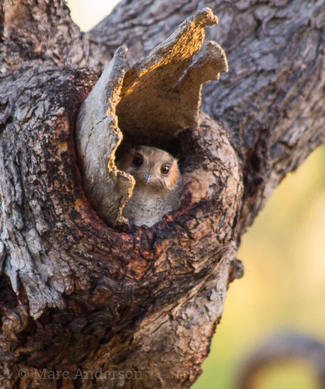 Australian Owlet-nightjar (Aegotheles chrisoptus)