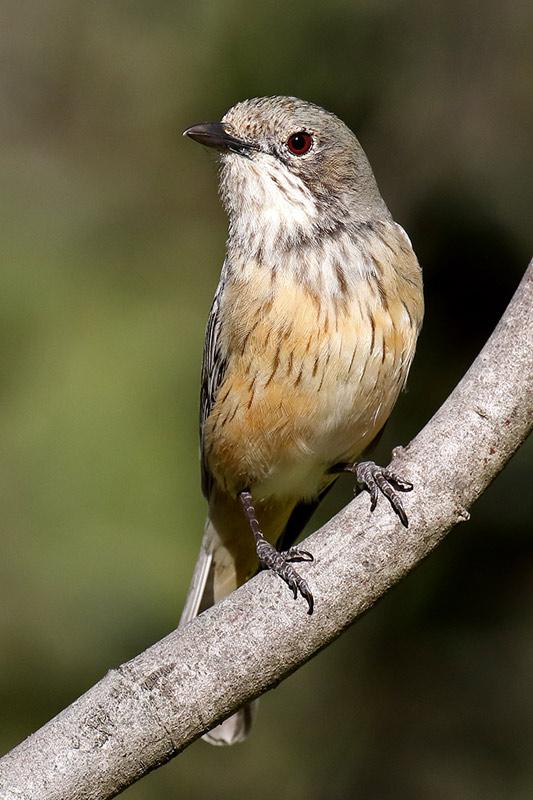 Female Rufous Whistler (Pachycephala rufiventris)