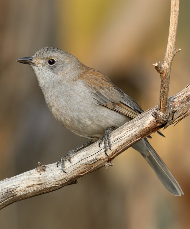 Grey Shrike-thrush (Colluricincla harmonica)