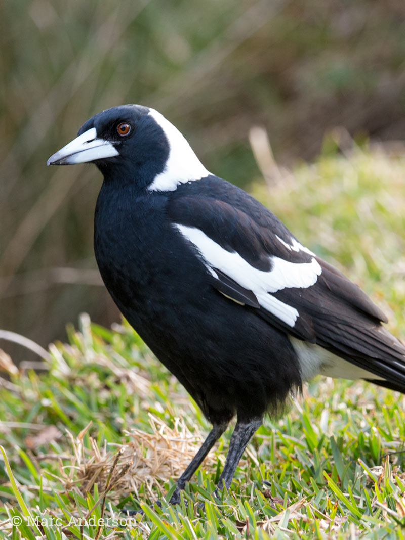 Australian Magpie - Song & Calls | Wildlife Sounds by Wild