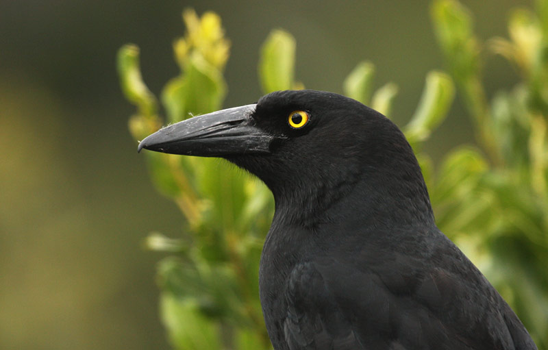 Pied Currawong - Song & Calls | Wildlife Sounds by Wild Ambience