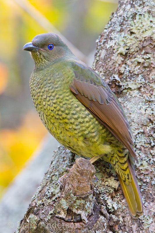 Female Satin Bowerbird (Ptilonorhynchus violaceus)