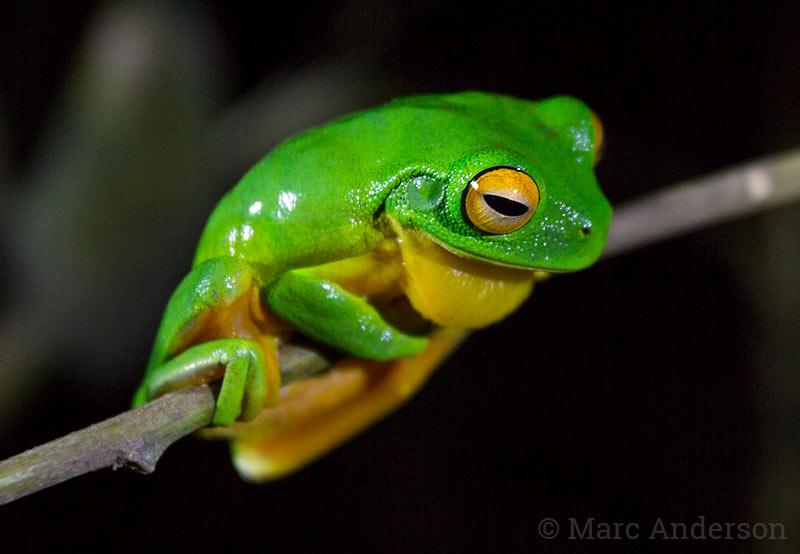 Orange-thighed Frog (Litoria xanthomera)