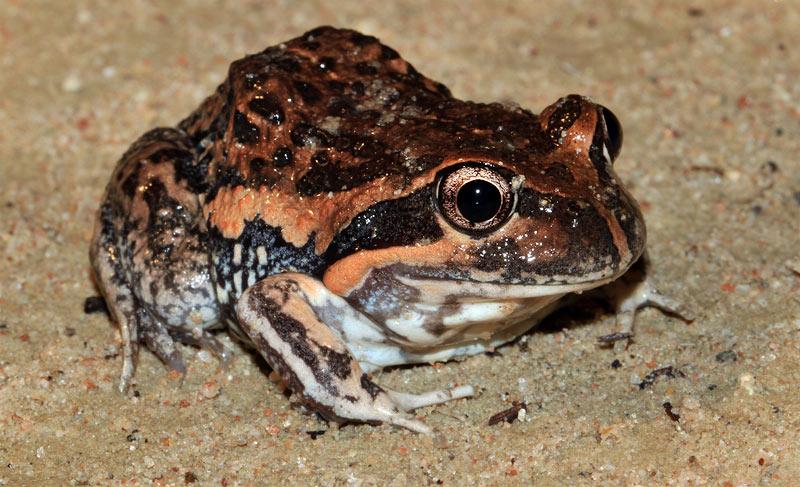 Eastern Banjo Frog (Limnodynastes dumerilii) or 'Pobblebonk'