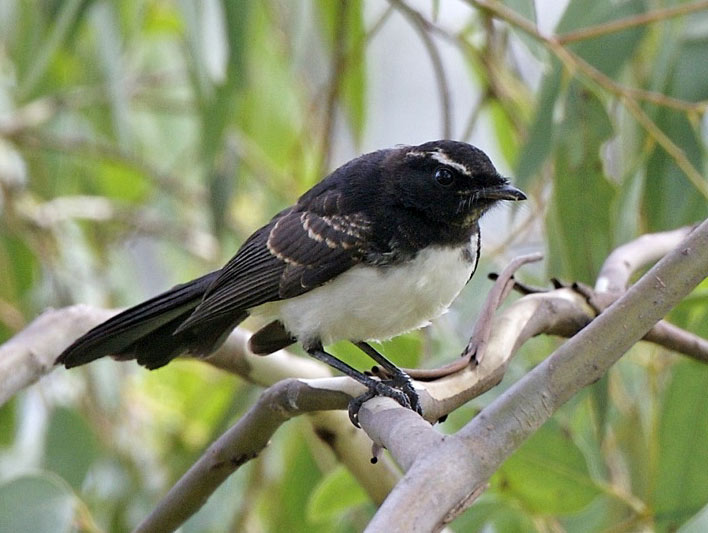 Willy wagtail sound