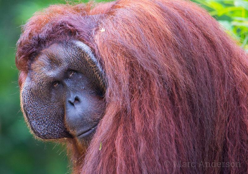 Adult male Bornean orangutan (Pongo pygmaeus)